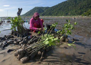 Plantation de palétuviers à Lambaro Najib